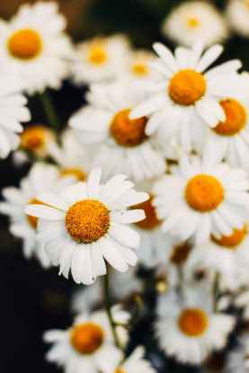 closeup photo of white daisy flowers
