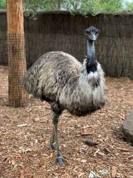 emu on ground